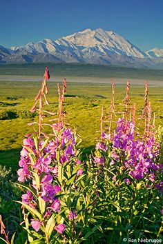 Mt. McKinley and fireweed- I saw this view every day for weeks. Amazing sights!