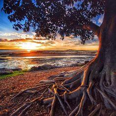 Beautiful Moreton Bay fig tree captured by benmulder