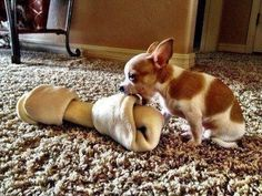 Tiny dog who is so tiny that normal-sized dog bones are bigger than her.