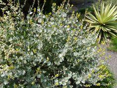 Baptisia arachnifera - Plant Delights grows it.