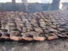 Vis die ligt te drogen in vissersdorpje Tanji #Gambia