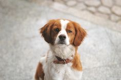 first canine love was a Brittany Spaniel puppy! Got him when I was 7 and he crossed the Rainbow Bridge when I was You never forget your first canine love! Love My Dog, Beautiful Dogs, Animals Beautiful, Cute Animals, Weimaraner, Rhodesian Ridgeback, Brittany Spaniel Puppies, Cute Puppies, Dogs And Puppies