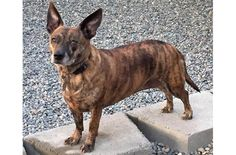 Jasmine, our Adoptable Dog of the Week, is an adult Corgi and Terrier mix from Auburn, Washington.