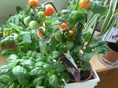 Loving my basil and tomato plants on my balcony