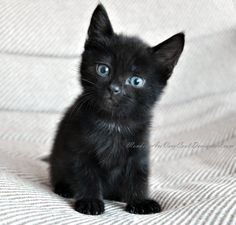 meow! so adorable :) i want a black cat soo bad especially with baby blues.