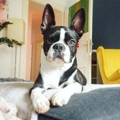 ....wanna play? #dottiethebostie #bostonterrier #bostonterrier_feature #bostonterriers #bostonterrierlove #bostonterriercult #bostonterriersofinstagram #instagood #dogsofinstagram #dogstagram #dog #hunde #münchen #munichgirl #cute #theboss