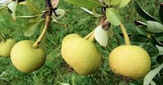 Greek Flowers, Pyrus, Flowering Trees, Fruits And Veggies, Pear, Seeds, Plants, Food, Forests