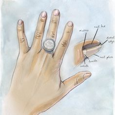 The anatomy of the fingernail, and how to know if your shape is a sign of a health issue.