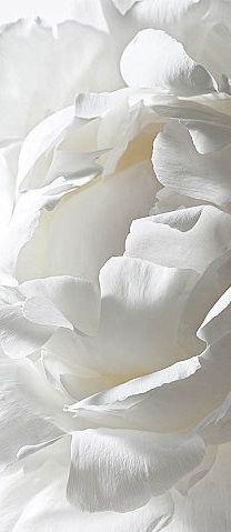 Pétales de #rose - #blanc velouté   Rose petals - softness #white