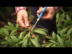 Hoe kan ik een rhododendron snoeien? - Tuinieren.nl - YouTube Juni, Succulents, Gardening, Watch, Flowers, Youtube, Clock, Lawn And Garden, Bracelet Watch