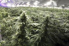 New York Medical Marijuana Rules