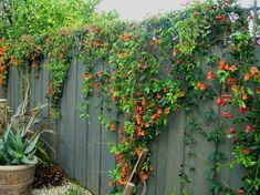 Bignonia capreolata 'Tangerine Beauty'   Cross Vine   Easy to grow fragrant vine that provides abundant tangerine blooms over a long season. Attaches itself to most surfaces by tendrils. Highly adaptable, growing in just about any condition. Semi-evergreen to evergreen.