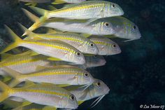 The school of yellowfin goatfish. Saw these at Beach 70 today