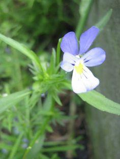 fiolek trojbarwny2 Herbs, Plants, Education, Diet, Herb, Plant, Onderwijs, Learning, Planets