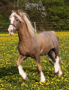Welsh Cob (section D) stallion Cwmmaddoc Appollo