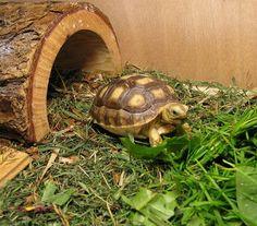 Sculcata tortoise, this looks like mine.
