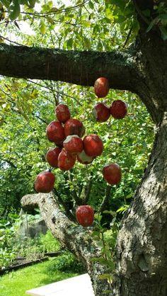 Appels aan de boom