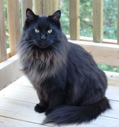 I want a Maine coon! They are so beautiful!!