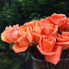 Apricot #roses make me smile.... #tgif #rosegarden