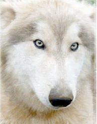 Silver white eyed wolf hybrid male