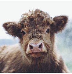 Yesterday I had a dream that I was in a car with my friends, and I looked out to the right and we drove past a little farm with these super adorable fluffy cows! Cute Baby Cow, Baby Cows, Cute Cows, Cute Funny Animals, Cute Baby Animals, Farm Animals, Animals And Pets, Fluffy Cows, Fluffy Animals