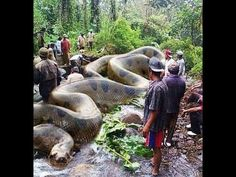 Worlds biggest snake Anaconda, swallowing a cow and vomitting the same - YouTube