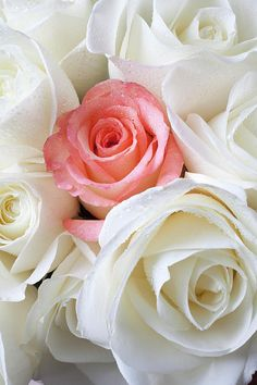 Garden Flowers White Roses And A Single Pink Rose Love Rose, My Flower, Pretty Flowers, Flower Boquet, White Roses, Pink Roses, Pink White, White Lilies, Coming Up Roses
