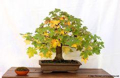 Autumn 2013: Liquidambar http://bonsai.correiadasilva.net/en/bonsai-gallery/liquidambar-15/2013-10-26-5-344