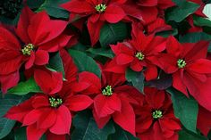 """No plant says """"Merry Christmas"""" like a poinsettia. Learn more about the history and proper care of this holiday favorite. Decorations Christmas, Christmas Flowers, Noel Christmas, Christmas Colors, Christmas Kitty, Christmas Poinsettia, Primitive Christmas, White Christmas, Euphorbia Pulcherrima"""