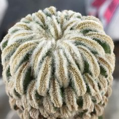 Pelecyphora aselliformis f.monst ペレキフォラ 精巧丸 モンスト