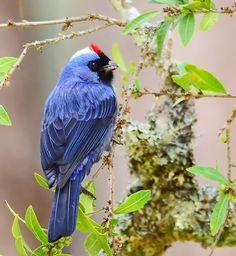 Foto sanhaçu-frade (Stephanophorus diadematus) por Jarbas Mattos | Wiki Aves - A Enciclopédia das Aves do Brasil