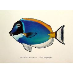 Vintage marine tropical fish lithograph print, 1975 antique powder... ($21) ❤ liked on Polyvore featuring home, home decor, wall art, light blue home decor, colored plates, light blue plates, engraved plates and sea life plates