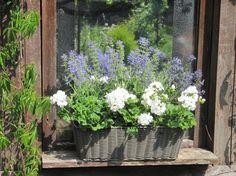 Blumenkasten auf dem Fensterbrett Mai 2012 - Bilder und Fotos