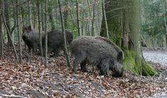 Wildnispark Zürich :: Sihlwald :: Langenberg - Öffnungszeiten Black Bear, Switzerland Trip, Zoos, Animals, Types Of Animals, Wilderness, Environment, Things To Do, Nature