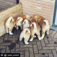 "430 Likes, 7 Comments - Akita&Shiba love world (@akita_shiba.club) on Instagram: ""...... @yoko_onoof 18-02-17 #ass #akita #nofilter #love #dog"""