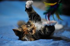 When perfectly timed photos happen the results are some really cool cat pictures. Kitten Photos, Funny Cat Photos, Funny Cats, Perfectly Timed Photos, Maine Coon Cats, Cool Cats, Cats Playing, Kitty, Ua