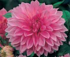 The Dinner Plate Dahlia . They make long-lasting additions to summer bouquets-