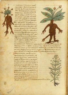 Mandragora, 15ème siècle, Dioscorides, De Materia Medica, BnF, Grec 2180, F. 13v