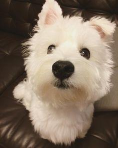 """1,311 Likes, 34 Comments - lulu (@lulu.berry) on Instagram: """"yo can I get a boop boop, can I get a boop boop  #boop #westie #dog"""""""