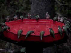 Video: world's largest hummingbird feeder...and look there's enough for all so they are not even acting territorial!  Too cool!
