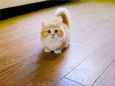 (35) munchkin cat   Tumblr