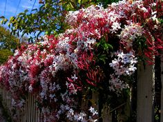 VINE Pink Jasmine - Jasminum Polyanthum can bloom year round in bay area, evergreen, intensely fragrant, and wants to go up like this photo and ramble over the top, maybe that isn't such a bad thing?
