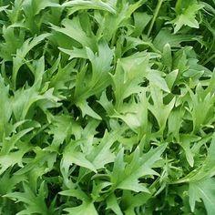 Rucola Eruca sativa