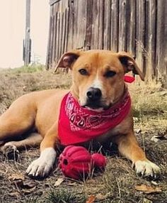 """""""Buster"""" Beagle/Lab mix for Adoption in Portland. He's a"""