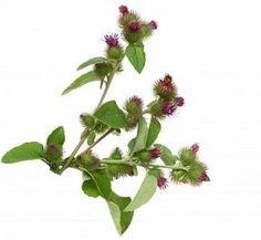 Proprietà e benefici della bardana, una pianta utile per le sue proprietà terapeutiche nei confronti della pelle. Proprietà della tisana di bardana. Chlorophytum, Health, Sweet, Fitness, Gardens, Growing Weed, Plant, Candy, Health Care