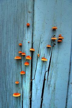 the colours in fungi! Orange Mushroom, Mushroom Art, Mushroom Fungi, Dame Nature, New Blue, Blue Orange, Orange Shades, Blue Grey, Yellow