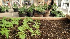 #babytomatos waiting for their turn in the big pots :)