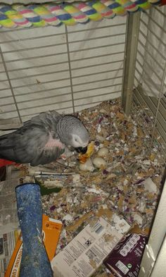 Our rescue bird  Spenny  (spencer )...sitting her eggs altho she's tucking in to toast....I know spencer is a boys name...she was named that before she laid eggs and came to us. She loves chewing up cardboard boxes. Does anyone  want  any hamster  bedding..lol...she bit through her nest box every day, every morning after breakfast  she was cleaned out and given another, by teatime hardly anything left. Even when she's not sitting she demolishes a box in no time.