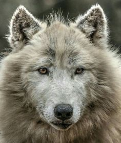 Superb Nature - beautiful-wildlife: Polar Wolf by yair_leibovich Wolf Spirit, Spirit Animal, Mundo Animal, My Animal, Wild Life, Beautiful Creatures, Animals Beautiful, Der Steppenwolf, Malamute