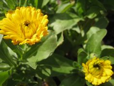 How to grow calendula! But I pinned this because she links to some places to order seed from. The links are found at the bottom of the post.